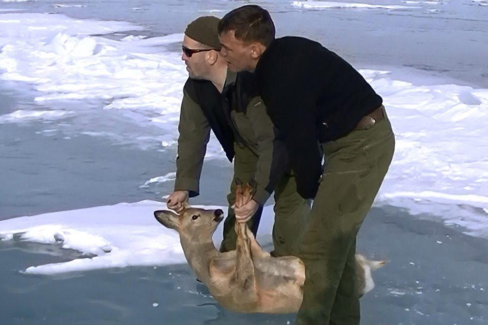 НаБайкале спасли косулю, которую выгнала налед стая волков