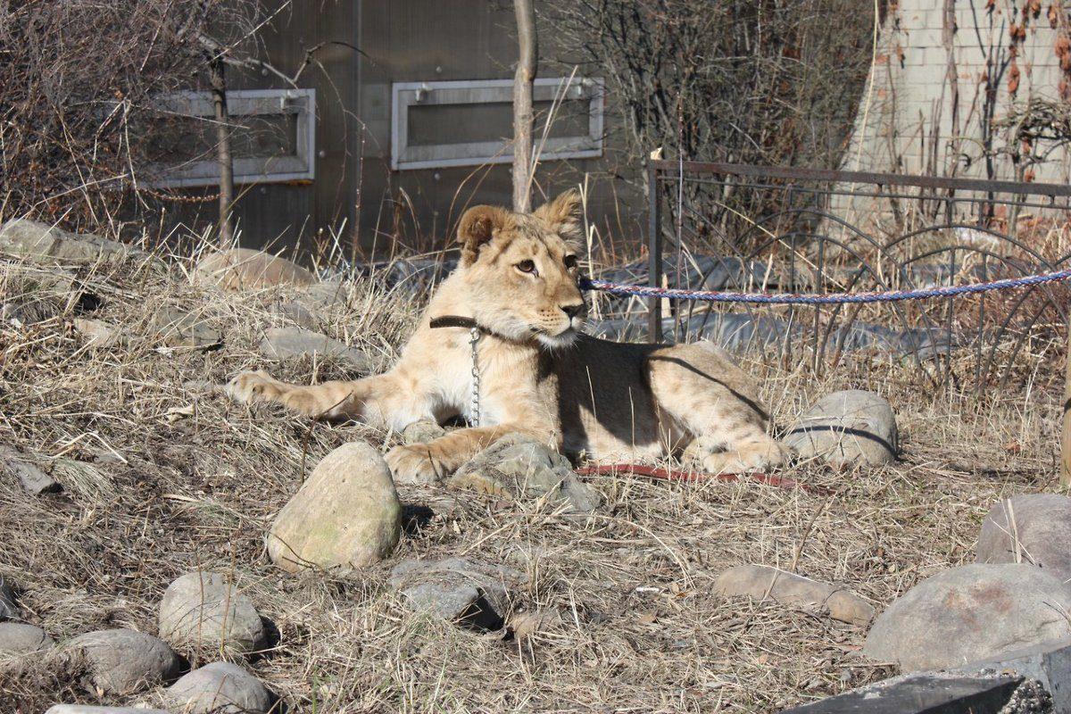 ВИркутском контактном зоопарке возникла львица Лили