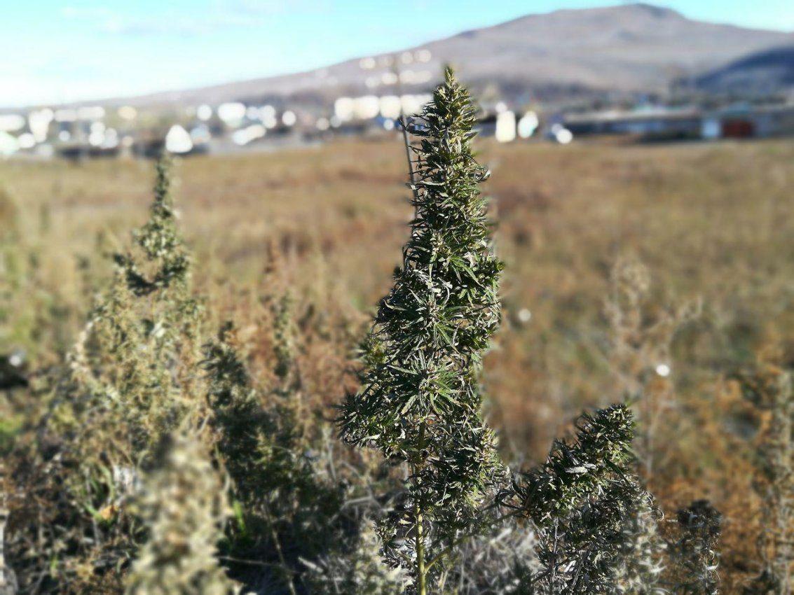 Забайкальский край конопля лук перо из семян на гидропонике