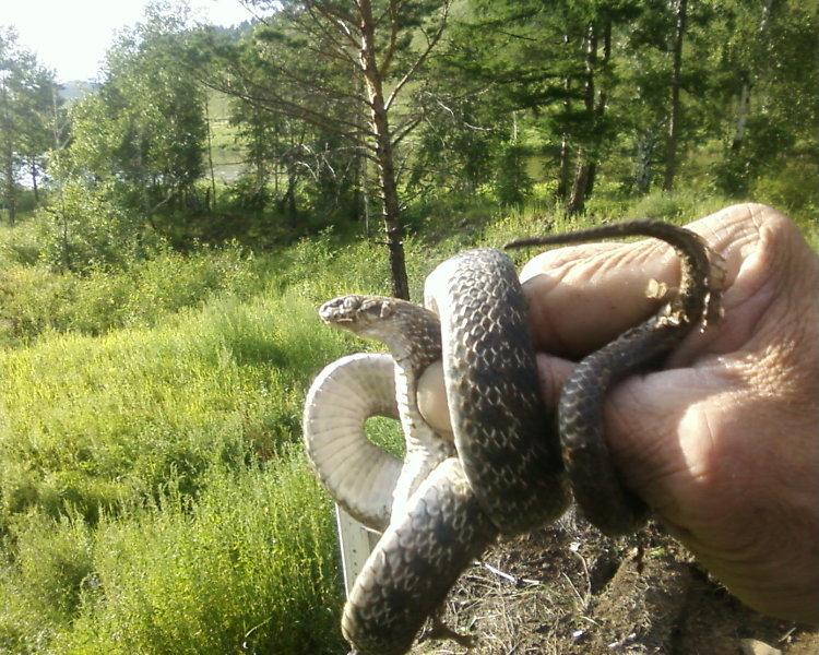 змеи запоют